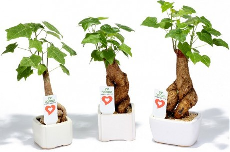 עץ האהבה בונסאי ממותג